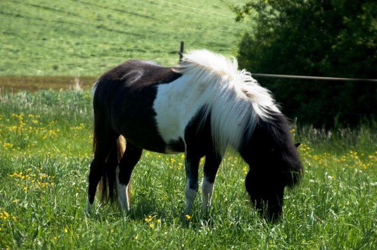 Verkaufspferde, Isländer Verkauf, Islandpferde Verkauf: Islandpferde Reussenberg