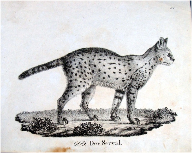 German 1830 Lithograph Serval African Wild cat