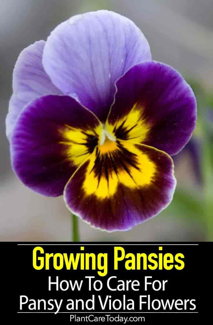 Growing Pansies How To Care For Pansy And Viola Flowers In 2020 Viola Flower Pansies Flowers Spring Garden Flowers
