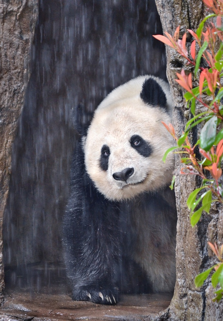 Bai Yun in the rain at the San Diego Zoo, California, on March 8, 2013.  © Stinkersmell.