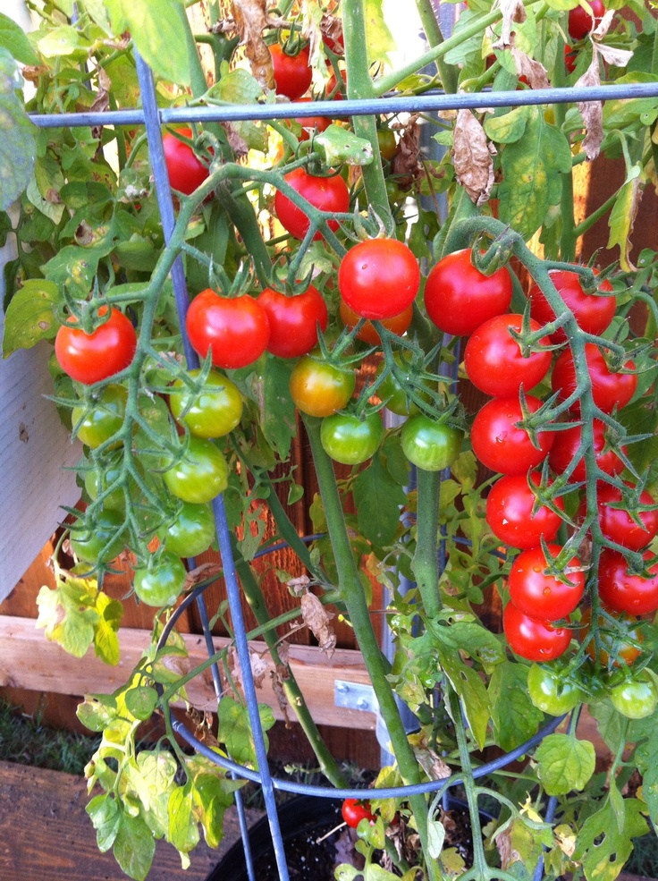 106 best images about gardening tomato varieties on. Black Bedroom Furniture Sets. Home Design Ideas