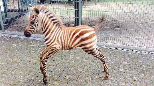 Im Juli/August 2015 haben die Zebras im Euregiozoo Nachwuchs bekommen: Anna.