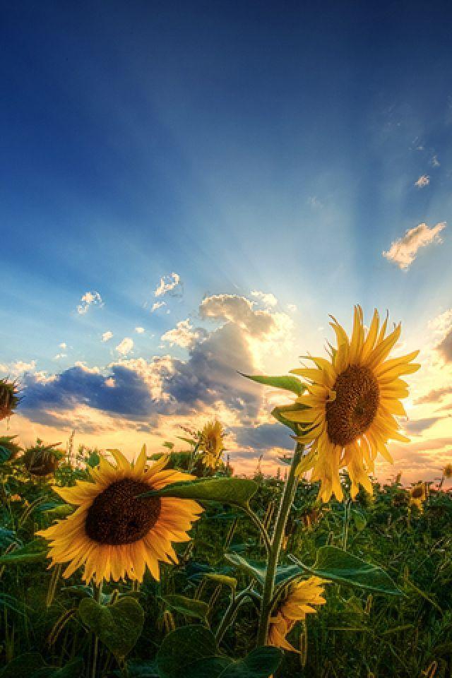 The 25 best Sunflower wallpaper ideas on Pinterest Sunflower