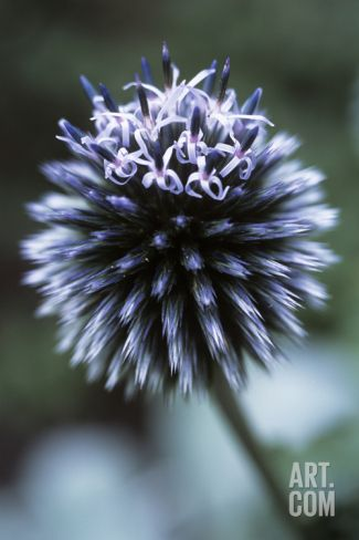 Globe Thistle 'Veitch's Blue' Photographic Print by Maxine Adcock at Art.co.uk