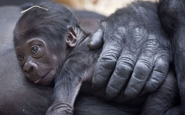 A  gorilla named Kijivu holds her nine-day-old baby at Prague Zoo, Czech Republic