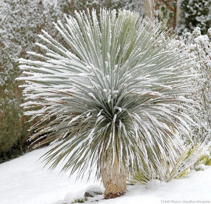 Les yuccas : ce genre est originaire des régions chaudes et sèches, comprend de nombreuses espèces étonnement rustiques et capables de braver le froid, la neige et l'humidité presque partout en France.
