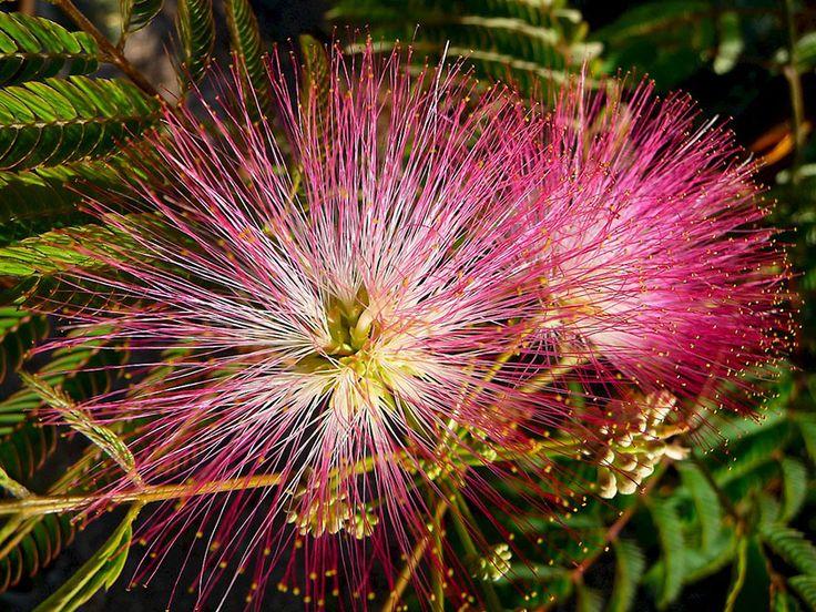 Акация шелковая, или Альбиция ленкоранская - Albizia julibrissin, акация фото