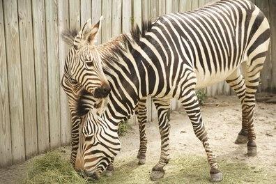 Name the Louisville zoo's baby zebra!