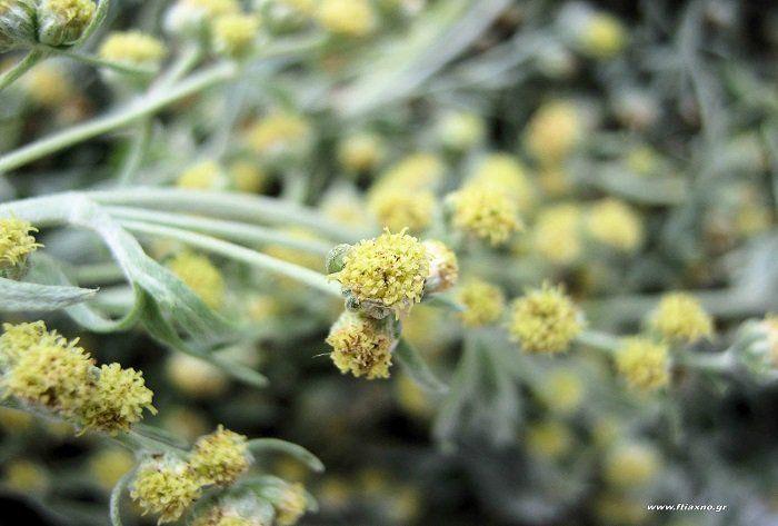 Αρτεμισία, ένα βότανο που εξαφανίζει το καρκίνο του μαστού σε 16 ώρες!