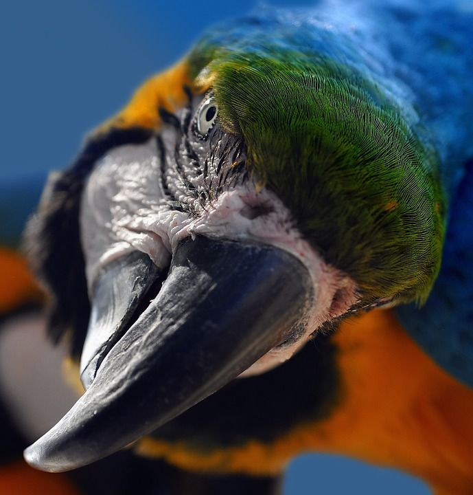 Ara, Yellow Macaw, Parrot, Bird, Portrait, Head, Bill