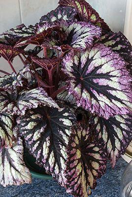 Fotos de nuestras Begonias identificadas - Página 9 - Foro de InfoJardín