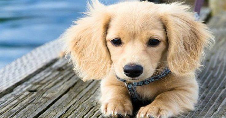 dachshund mix puppies oregon