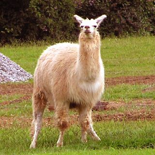 Lama: Diferenças entre a Alpaca, Lhama, Vicunha, Guanaco.