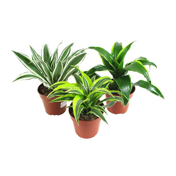 Комнатное растение Драцена Драгон микс 12 х 25 см