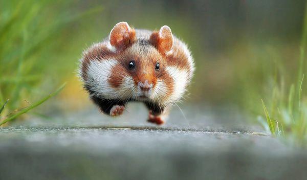 Bardzo śmieszne zdjęcia dzikich zwierząt - zwycięzcy konkursu Comedy Wildlife Photography Awards - Konkursy - wyniki - Swiatobrazu.pl