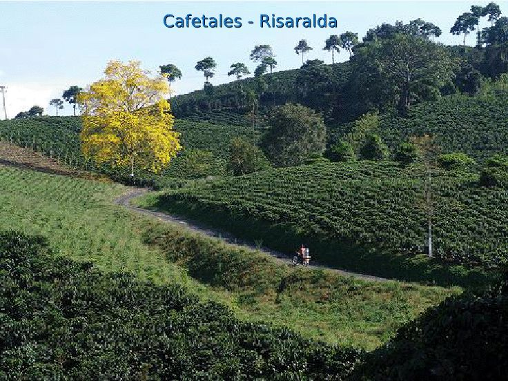 Guayacán florido y cafetales en el departamento de Risaralda Quindío Colombiano.......................http://www.chispaisas.info/paisaje20.htm