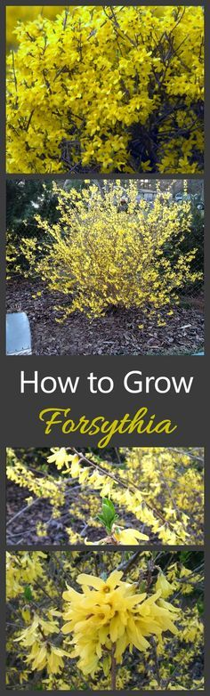 Growing Forsythia bushes is one of the best ways to get a really early show of flowers in your yard in spring.