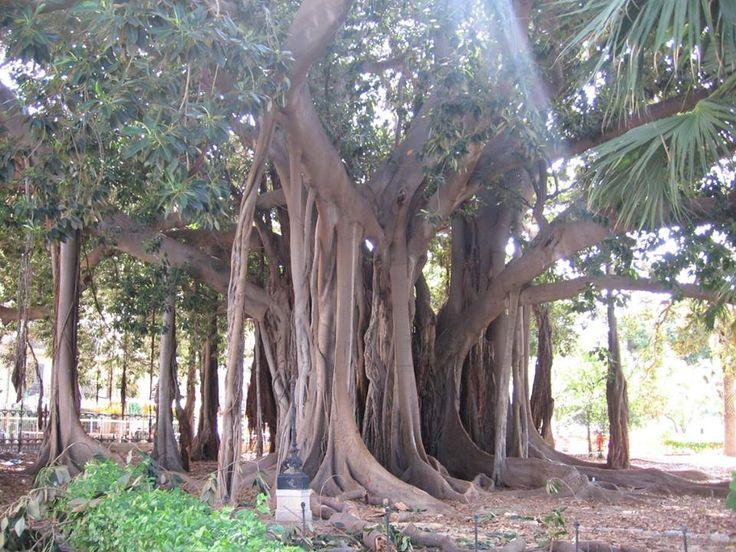 Cadetto bianco -  Fico magnolioide - Ficus macrophylla subsp. columnaris (C.Moore) P.S.Green - Sicilia - Palermo - Piazza Marina - Villa Garibaldi -30-9-2010 - Antimo Palumbo (81)