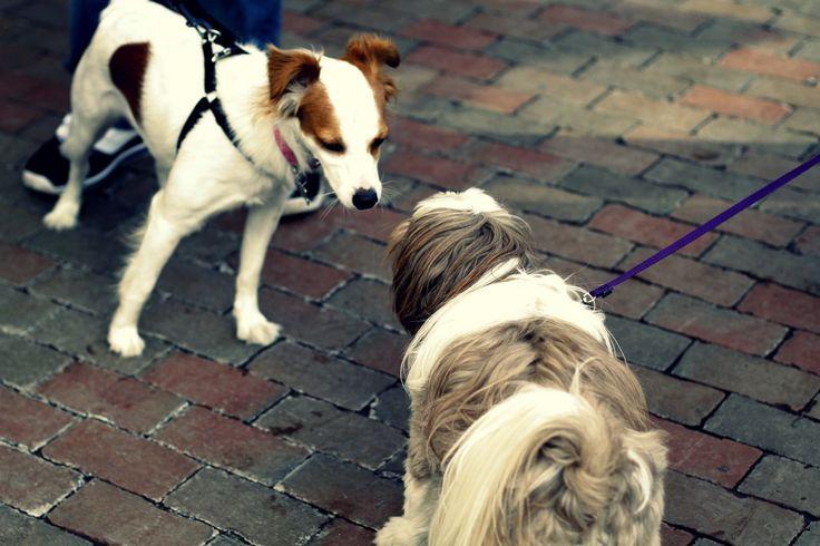 Kutyák első találkozása: óvatos ismerkedés  #kutya #dog #cute #kutyabaráthelyek #kutyabarathelyek