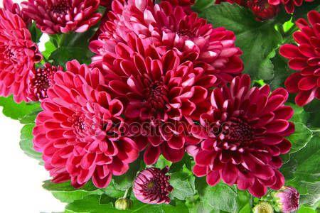 Mazzo di crisantemi isolato — Immagini Stock #70412515