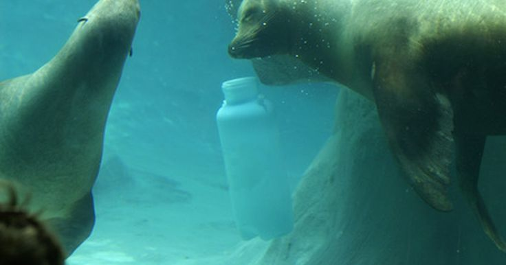 """Datos sobre las focas blancas . Las focas con pelaje blanco que adoramos son en realidad las crías de las focas de Groenlandia, pía o arpa (por """"harp seal"""", su nombre en inglés). Viven en las aguas del norte del mundo y consiguen el nombre """"arpa"""" por la apariencia de su pelaje. La foca de Groenlandia es la raza más cazada de todas. Éstas son comercialmente buscadas por su aceite ..."""