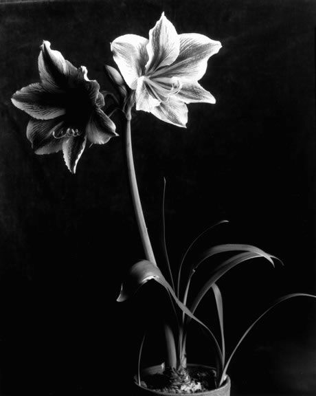 Amaryllis Flower -Photographed by  Imogen Cunningham, 1933.