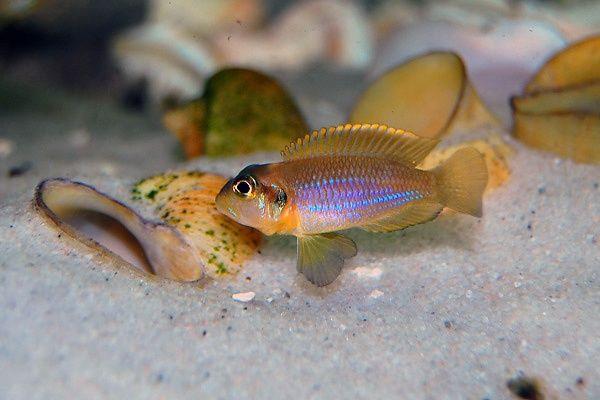 """Shell-dwelling lamprologus ocellatus """"gold"""" Lake Tanganyika, Africa"""
