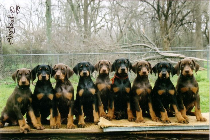 Doberman Pinscher puppies- I remember a movie with a bunch of these guys in it, but can't remember what movie.. I'm pretty sure it was a movie about dogs and puppies, and I remember something about a route dug into a barn where these puppies were, somebody help me?