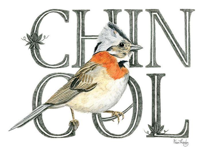 Fran Méndez - diseño e ilustración   Aves de Chile