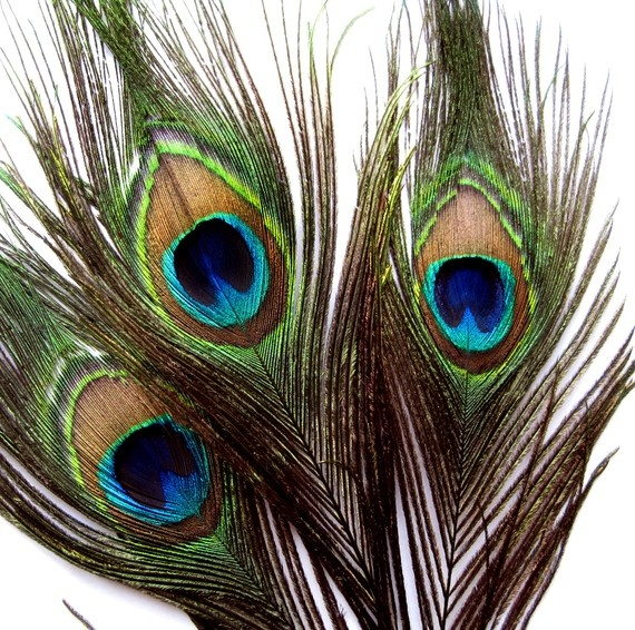 Peacock feathers-pretty shimmering shades of blue and green. They bring prosperity to the home. What's not to love?