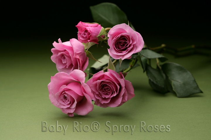 Baby Rio® BLUE MOON Spray Rose: Sprays Rose, Spray Roses, Baby Rio, Flowers Rose