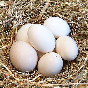 Zwerghuhn-Ei: Größe: Die Eier sind deutlich kleiner als das normale Hühnerei. Bescheibung:   Das Zwerghuhnei kann in der Größe und Farbe sehr unterschiedlich sein. Die Farbe der Schale kann von cremefarben bis braun ausfallen. Stück-Preis: 2,00 €