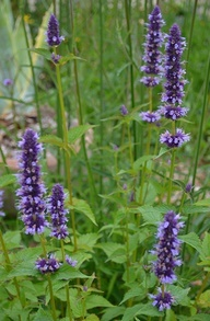 1000 images about hyssop on pinterest gardens for Agastache cuisine