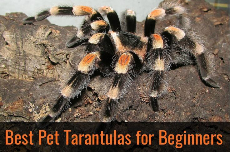 best-pet-tarantulas-for-beginners