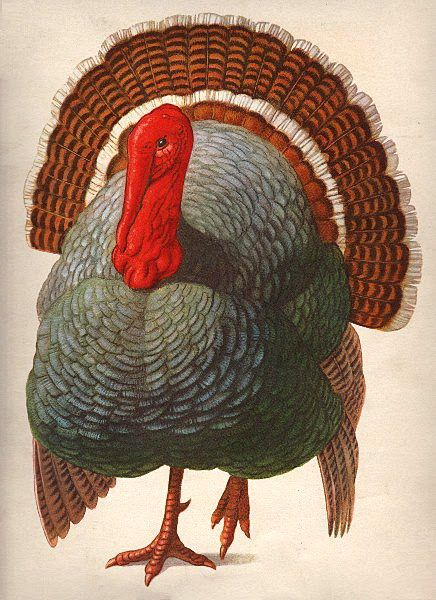 free... Turkey Facing Forward.  This fun turkey was an image from an old children's game.  He is walking towards you with a bright red head, pretty grey body, and detailed brown feathers.  I especially love this image because the turkey is facing forward.  So often, you see turkey images with the turkey viewed from the side or a 3/4 view, and this is a fun change!