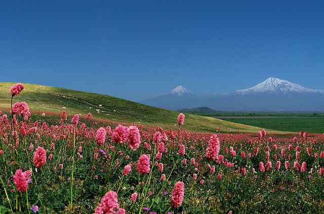 Wild flowers of Armenia, Mt Ararat in the background  Candy for the eyes...yes