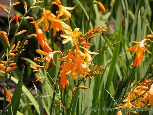Крокосмия (монтбреция) - всё самое интересное  Крокосмия, или монтбреция - это два разных названия одного и того же растения. Есть еще и третье название — тритония, а в народе это растение называют японским гладиолусом. С латыни название «крокосмия» переводится как «шафранный запах» - им действительно обладают засушенные цветы. А имя «монтбреция» цветок получил в честь французского ботаника де Монтбрета.  Своим появлением цветок обязан французскому селекционеру Лемуану, который скрестил в…