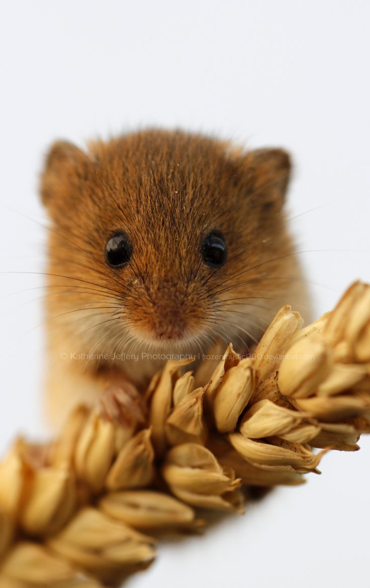 Harvest Mouse Portrait by KattPhotography.deviantart.com on @deviantART