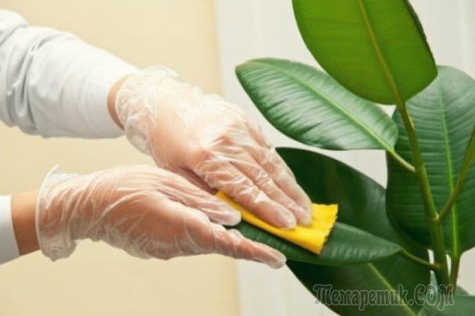 Выращивание каучуконосного фикуса Робуста в домашних условиях