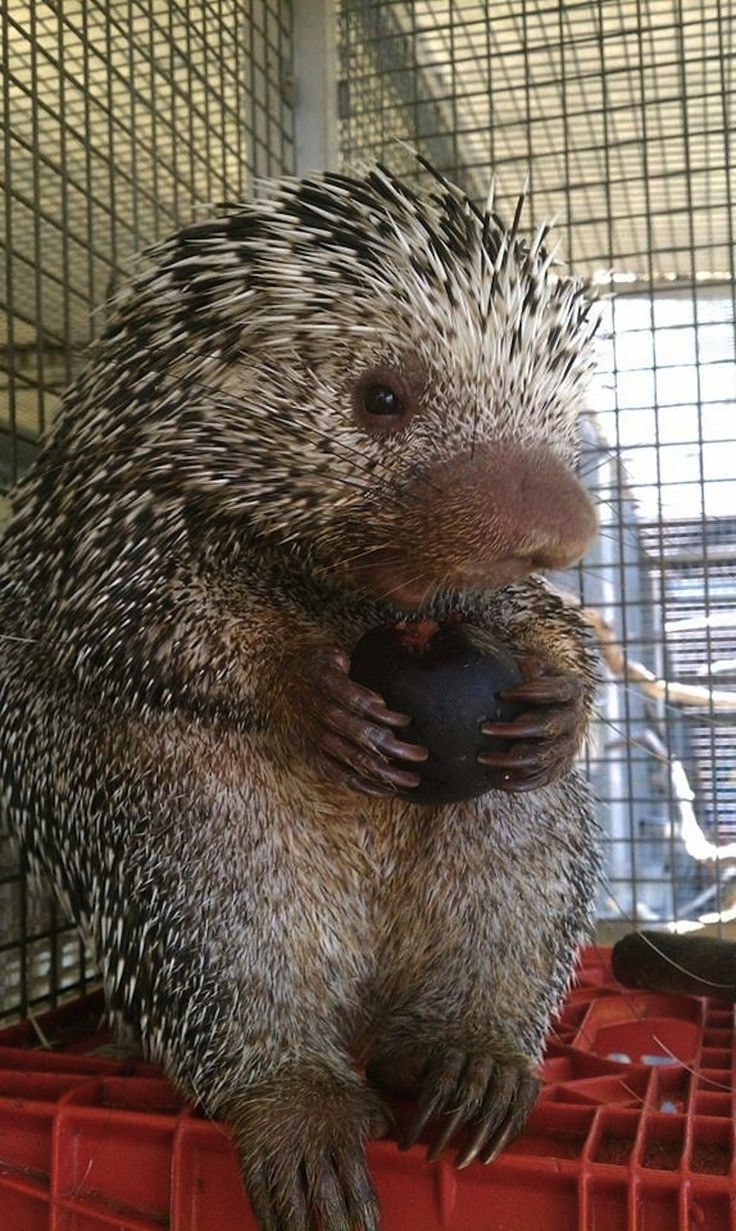 A baby porcupine who enjoys plums. | The 40 Most Adorable Baby Animal Photographs Of 2013