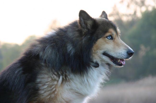 Collie e husky é uma assombrosa combinação de beleza e força.
