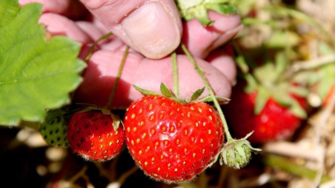 Civic pride 'can help sustain urban biodiversity'.   Strawberries (Image: BBC)