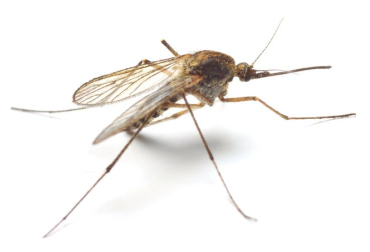 This is an image of the Anopheles mosquito.  This mosquito is a vector that is commonly infected by a parasite that causes the disease malaria.  The parasite is transferred to a human when an infected mosquito bites and feeds on the blood of the human.  The vector is part of the infection process of the Triad of Disease: Agent-Host-Environment