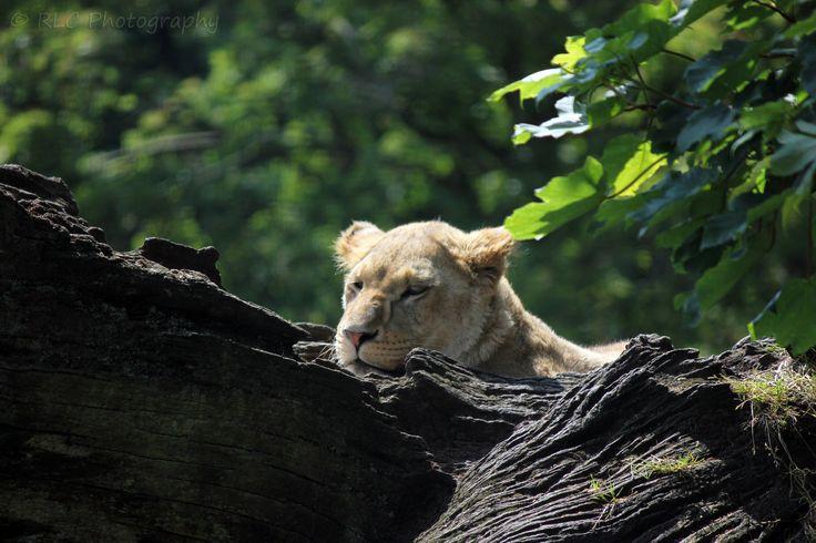 https://flic.kr/p/qwNX1W | Longleat Zoo | July 2013