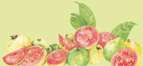 Guayaba. Acuarela para empaque de frutas congeladas