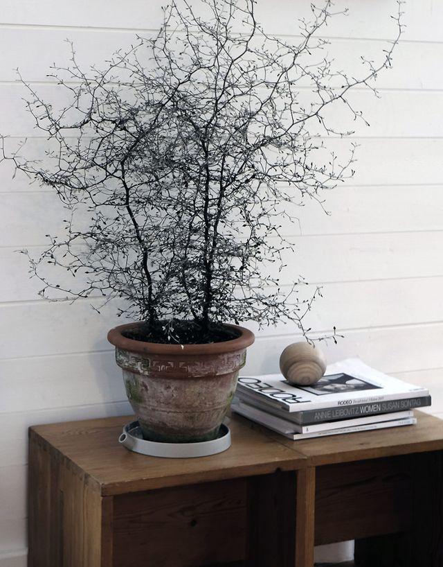 Corokia cotoneaster | Stil Inspiration | Bloglovin'