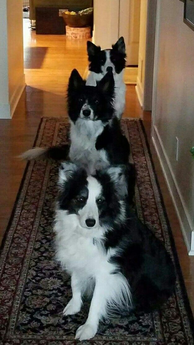Line up of Border Collies