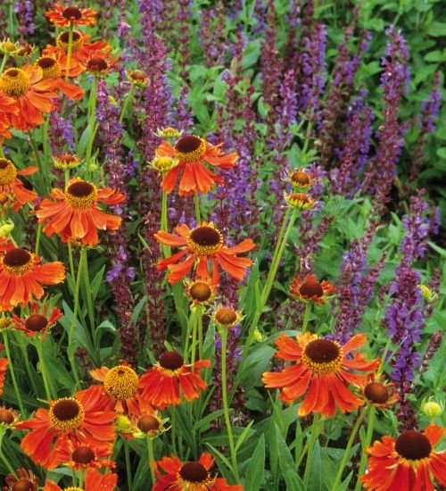 Grow Helenium and Salvia together for stunning purple and deep-orange floral borders.