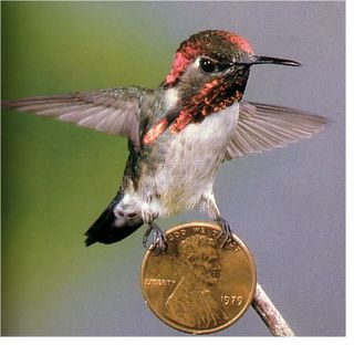 The Cuban Bumble Bee Hummingbird. The *smallest* bird in the world.