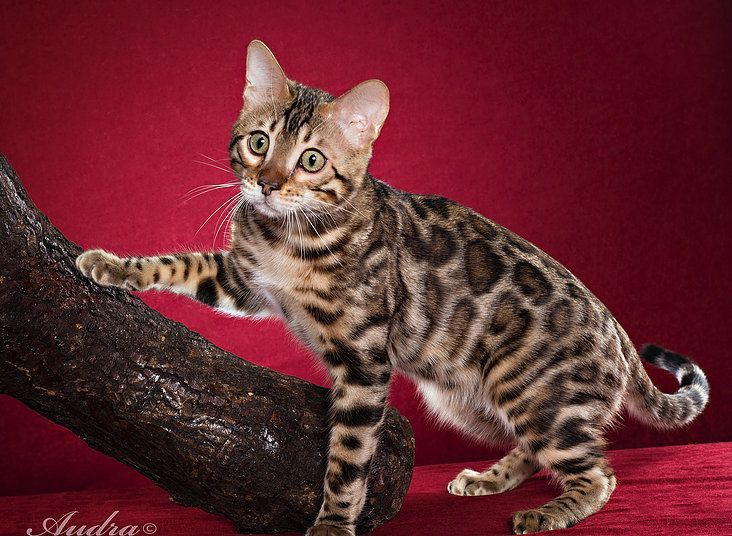 Most Up To Date No Cost Bengal Cats Price Style In 2020 Bengal Cat Price Bengal Cat For Sale Bengal Kitten
